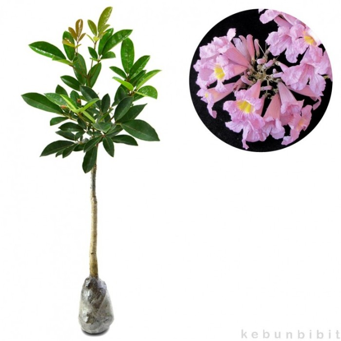 Jual Tanaman Hias Tabebuia Rosea 60cm - kebunbibit  9f1eae3bd5