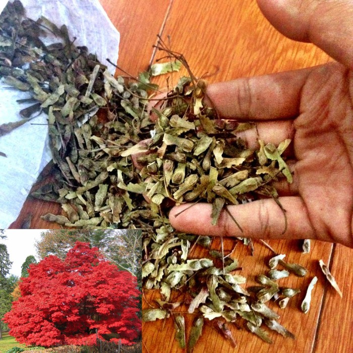 how to grow japanese red maple bonsai from seed