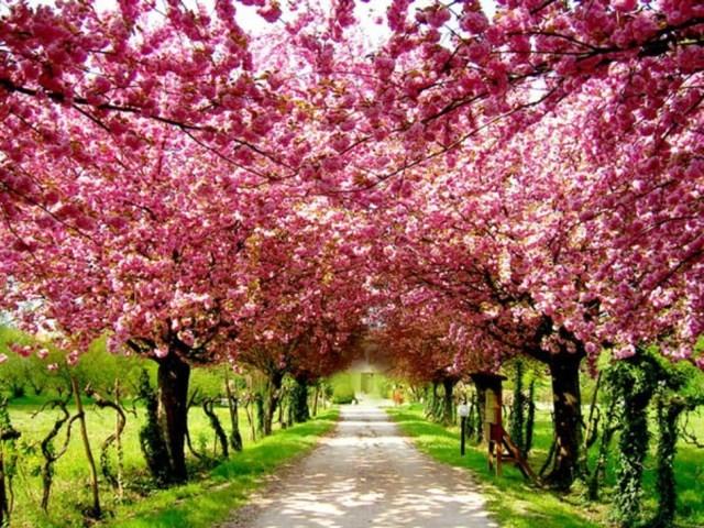 Foto Produk Benih Biji Bibit Sakura Japanese Cherry Blossom dari Biji Benih