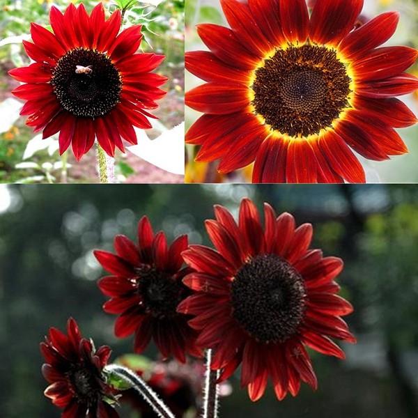 benih/seeds/bibit flower (bunga matahari velvet queen ) sunflower velvet queen wildflower