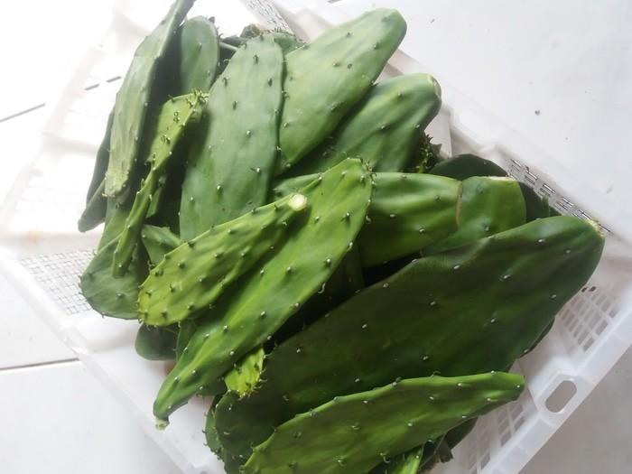 harga Kaktus centong untuk pakan kura kura darat makanan torto 500gram Tokopedia.com