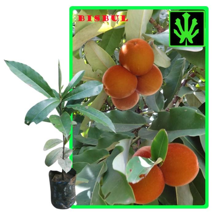harga Tanaman buah bisbul (mabolo / velvet apple) - tinggi 30cm Tokopedia.com