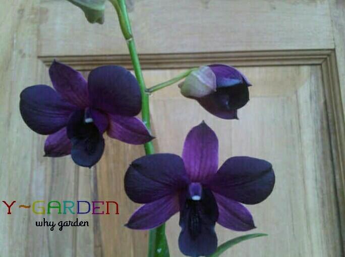 harga Anggrek dendrobium 2 / orchids / bibit tanaman hidup bunga hias Tokopedia.com