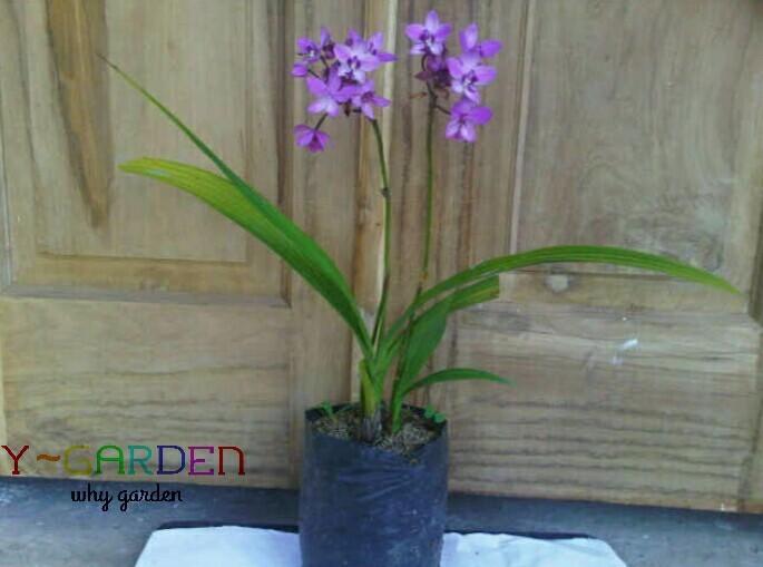 harga Anggrek tanah daun pandan / orchid / bibit tanaman hidup bunga hias Tokopedia.com