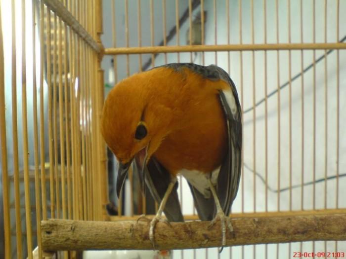 Jual Burung Anis Merah Kota Bogor Drie 77 Olshop Tokopedia