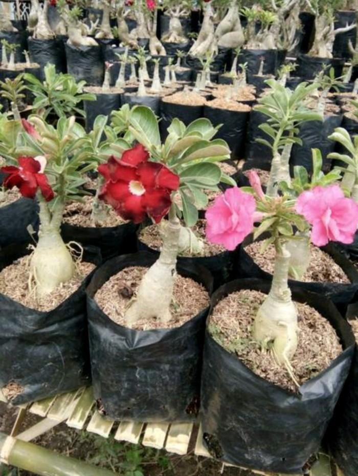 harga Bibit bunga kamboja (adenium) Tokopedia.com