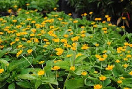 Hasil gambar untuk menanam bunga seribu bintang