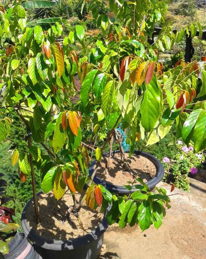 Jual Tanaman Bunga Kenanga Merah 150cm Kota Batu Kayyisa Fam Tokopedia