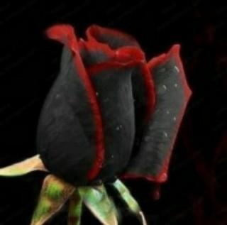 78 Gambar Mawar Hitam Terbaik