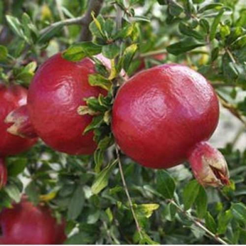 harga Tanaman buah delima merah 40cm Tokopedia.com