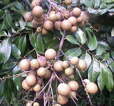 harga Bibit tanaman buah kelengkeng puangray 50cm Tokopedia.com