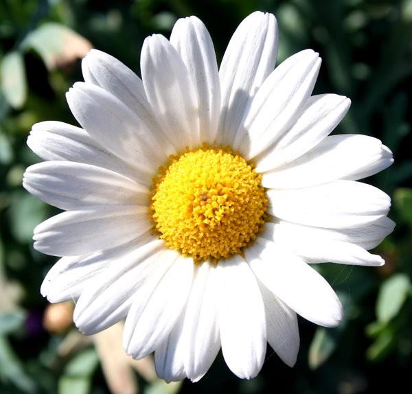 Jual Bunga Aster Putih Tanaman Kota Batu Rancupid Tokopedia