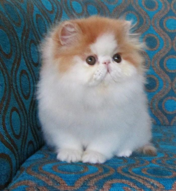 Download 93+  Gambar Kucing Persia Lucu Banget Paling Baru