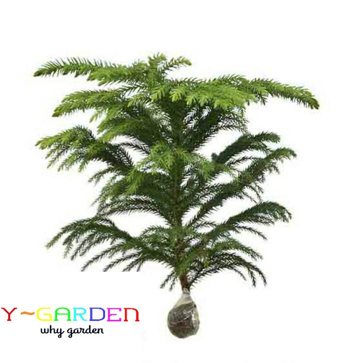 harga Pohon cemara norfolk / tanaman hidup natal siap kirim / christmas tree Tokopedia.com