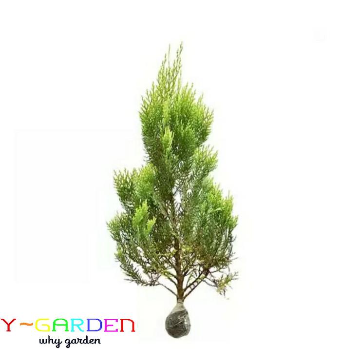 harga Pohon cemara kipas / tanaman hidup natal siap kirim / christmas tree Tokopedia.com