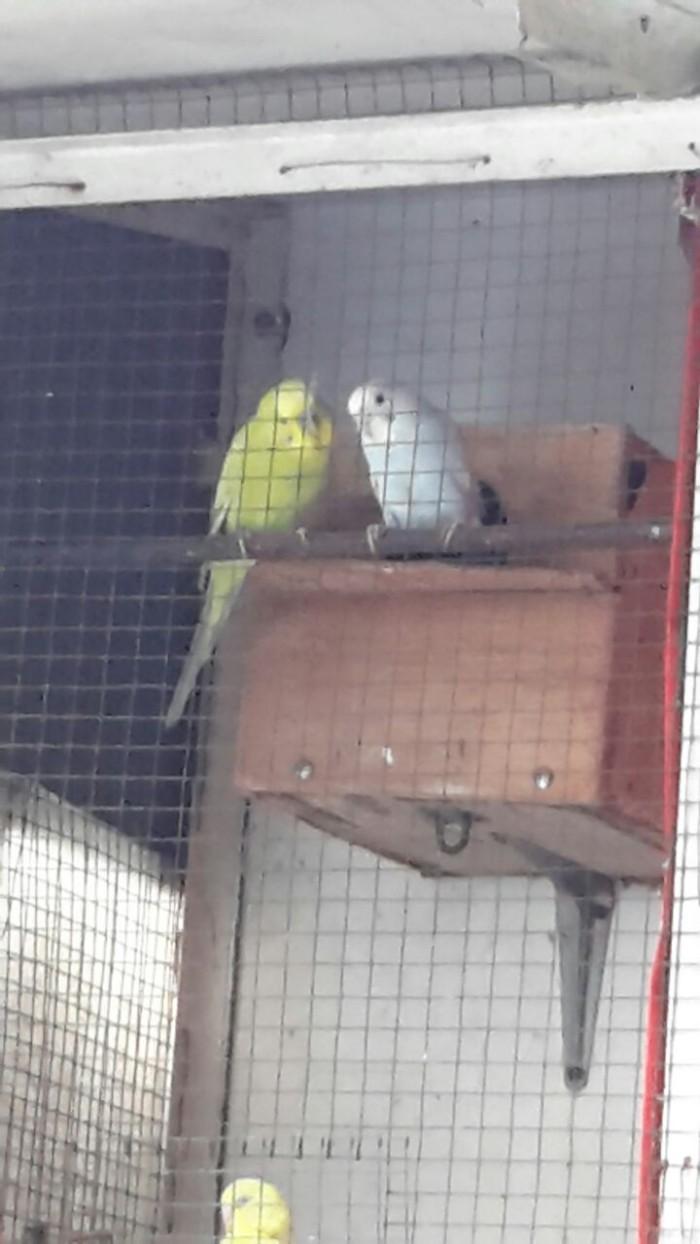 harga Burung Parkit Indukan Tokopedia.com