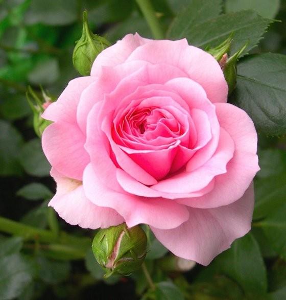 Jual Biji Benih Bibit Bunga Mawar Pink Pink Rose Kota Semarang