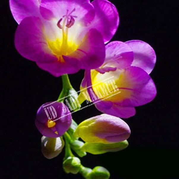 Unduh 800 Wallpaper Bunga Freesia HD Terbaik