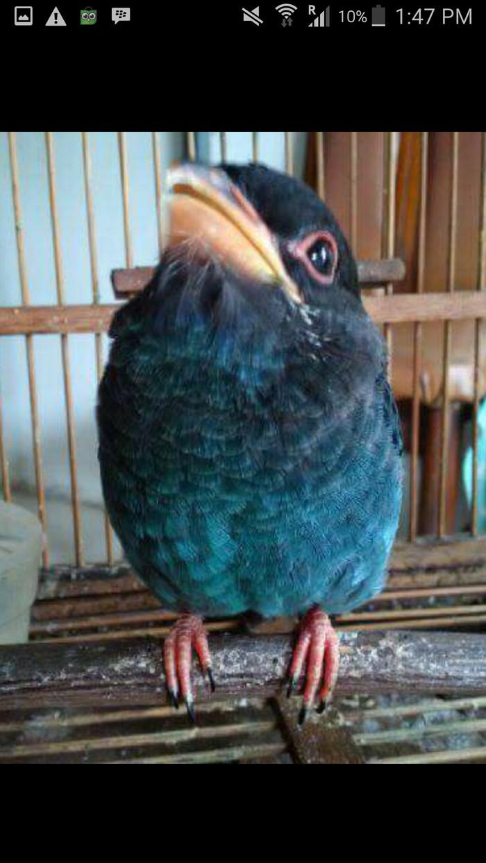 Jual Tengkek Buto Gacor Kota Depok 911 Bird Shop Tokopedia