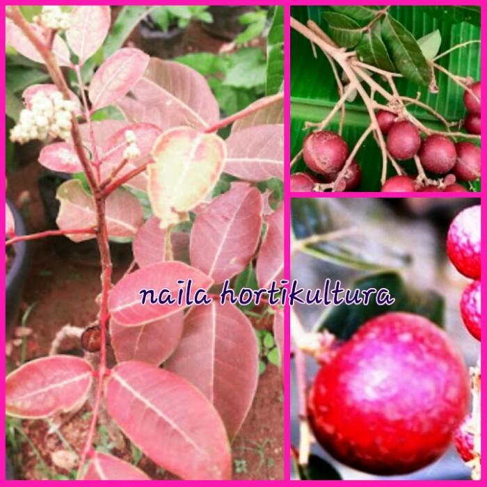 harga Bibit kelengkeng merah ruby longan Tokopedia.com
