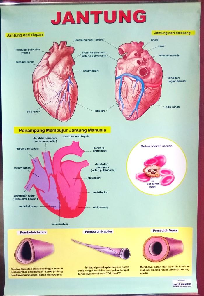 Jual Alat Peraga Poster Jantung Jakarta Selatan Baca Lagi