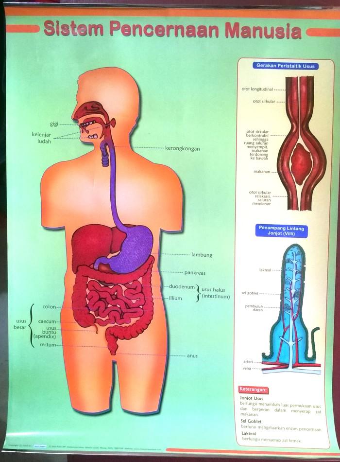 Download 65+ Gambar Poster Organ Pencernaan Manusia Terbaik Gratis