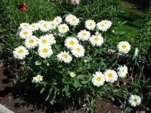 Jual Biji Benih Bunga Aster Daisy Putih Kota Semarang Crown