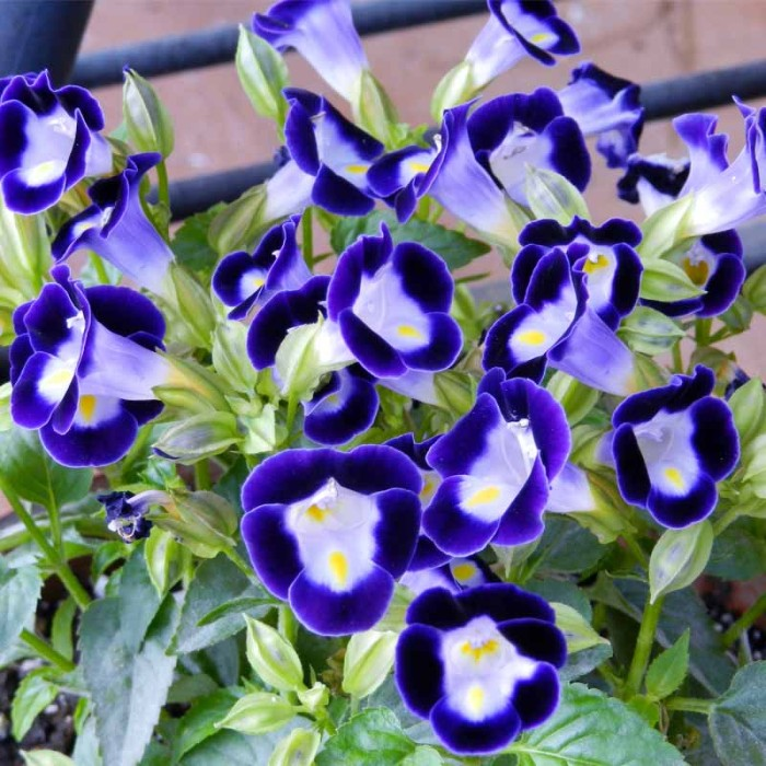 Jual Tanaman Torenia Ungu Bunga Mata Kucing Kota Batu Tanamanbuahtin Tokopedia