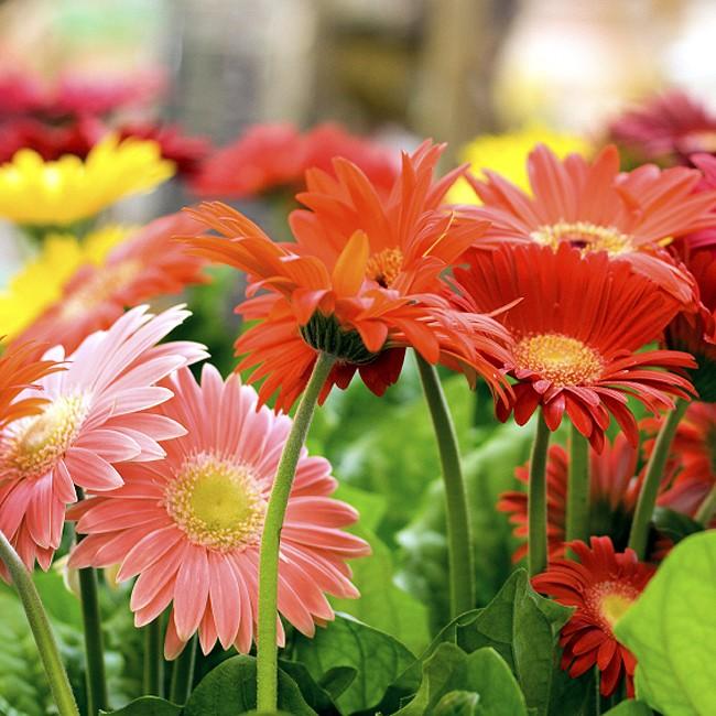 Bibit / Benih / Seeds Bunga Gerbera Jamesonii Daisy Flower