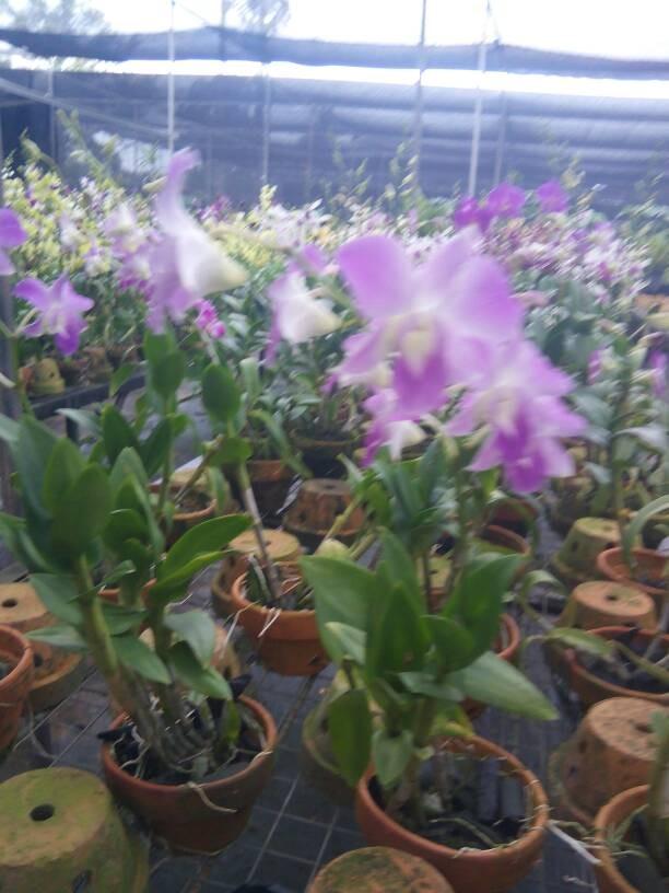 harga Anggrek dendrobium super / bunga / bibit / kembang / tanaman / hias Tokopedia.com