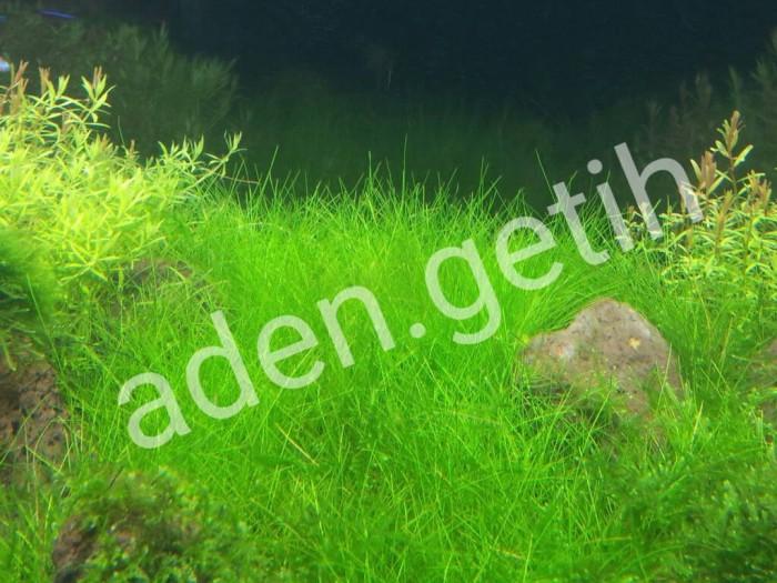 benih hair grass hairgrass HG magic carpet seed mini dwarf aquascape