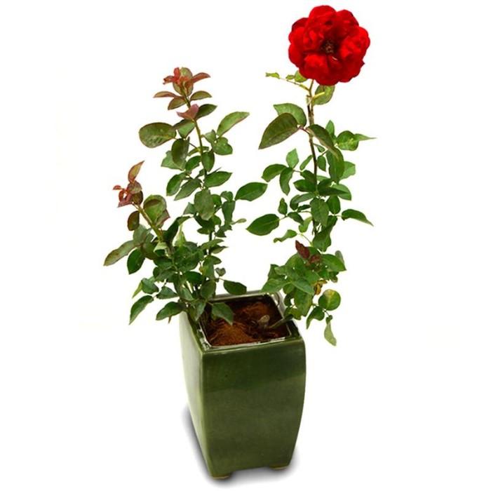 Jual Tanaman Mawar Merah Master Kota Surabaya Yogaas Store Tokopedia