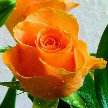 87+ Gambar Bunga Mawar Orange Paling Keren