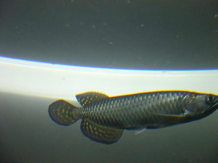 Ikan Arwana Irian