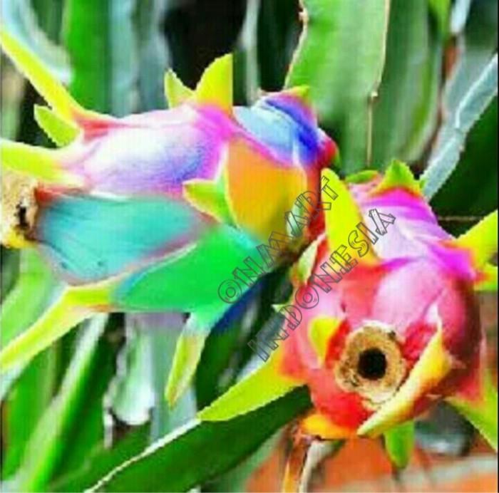 Benih bibit biji buah naga pelangi rainbow dragon fruit seed pitaya