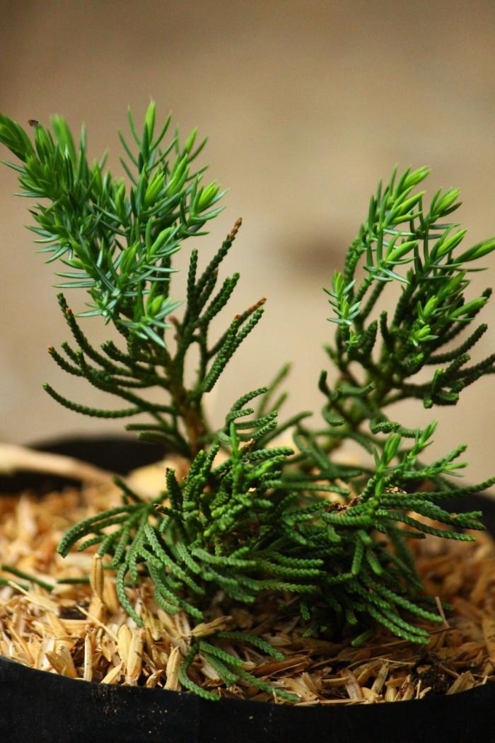 harga Tanaman bibit bonsai cemara chinensis Tokopedia.com