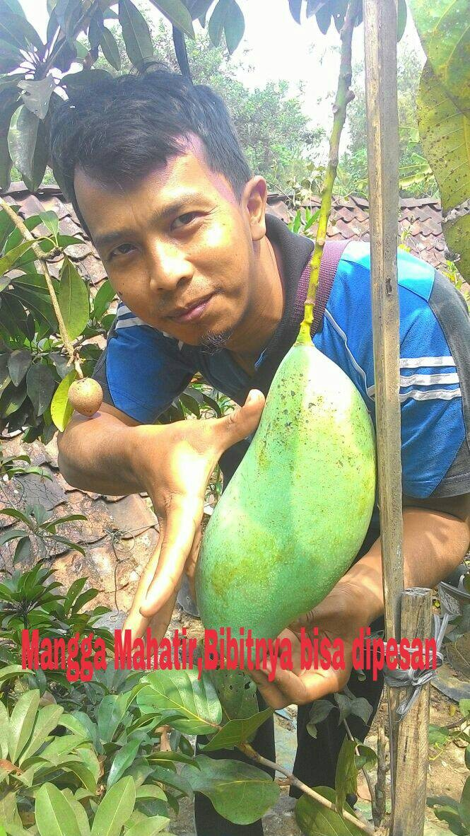 Bibit mangga mahatir unggul | budidaya tanaman buah mangga mahatir