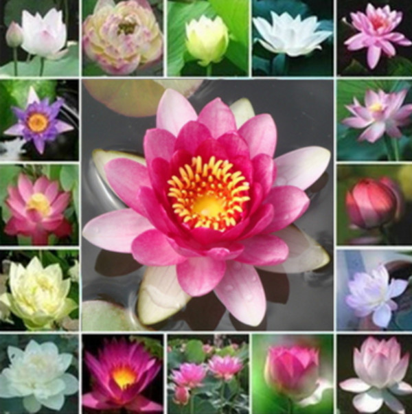 benih bunga teratai flower biji tanaman air aquascape Lotus seed .