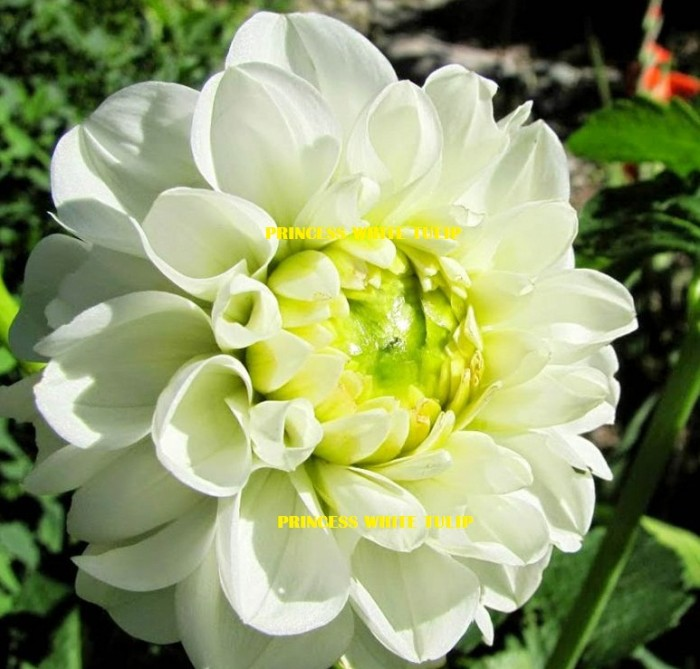 Jual Tanaman Hias Bunga Dahlia Putih Kab Bangka Barat Princess White Tulip Tokopedia