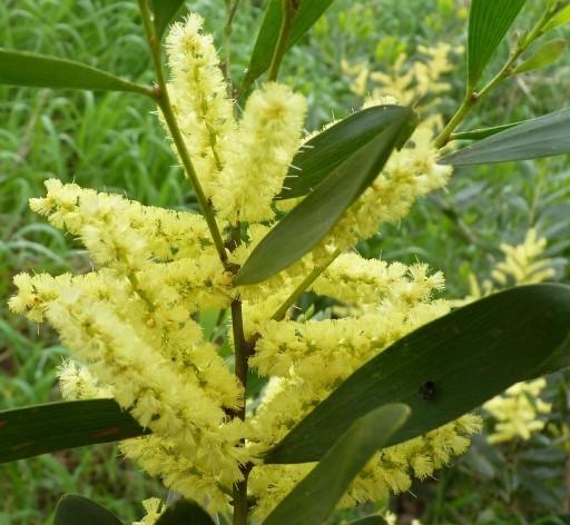 Jual Bijibenihbibit Bunga Acacia Longifolia Flower Seed Tokopedia
