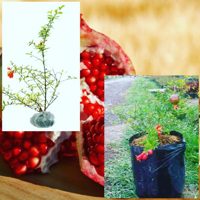 harga Delima Merah Mini / Red Pomegranate / Bibit Tanaman Hidup Buah Murah Tokopedia.com