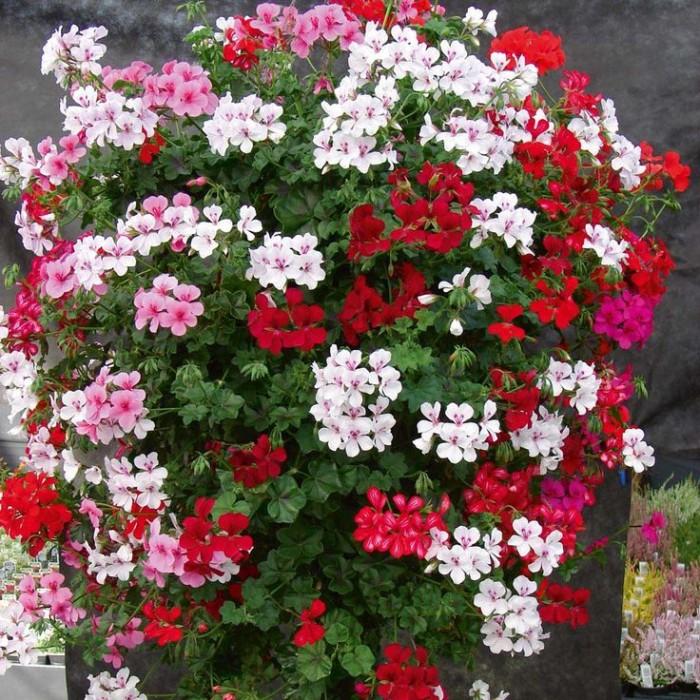 15 benih bunga geranium paint box mix