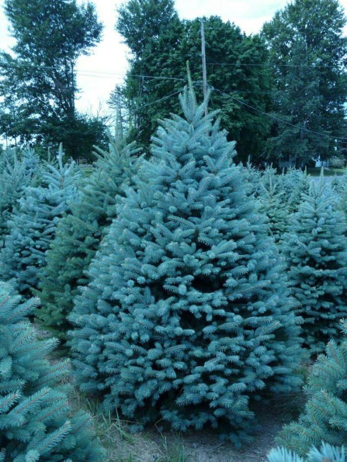 Colorado Blue Spruce Picea Pungens Glauca Tree Seeds 50 Seeds