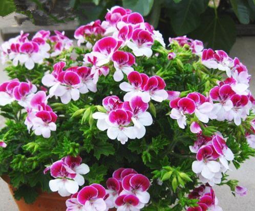 Benih Bibit Biji Bunga Geranium (Pelargonium graveolens) Tapak Dara