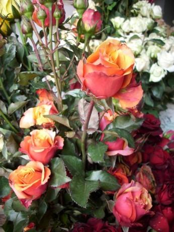 Jual Promo Natal Tahun Baru Tanaman Hias Bunga Mawar Holland All Collor Kota Batu Jaden Petani Bibit Tokopedia