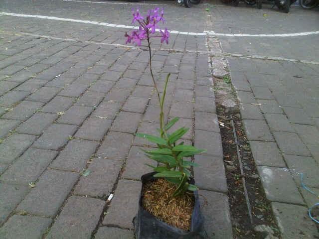 Jual Tanaman Anggrek Merpati Ungu Kota Batu Bb Plant Tokopedia
