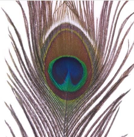 88 Foto Gambar Burung Merak Dari Kertas  Terbaru