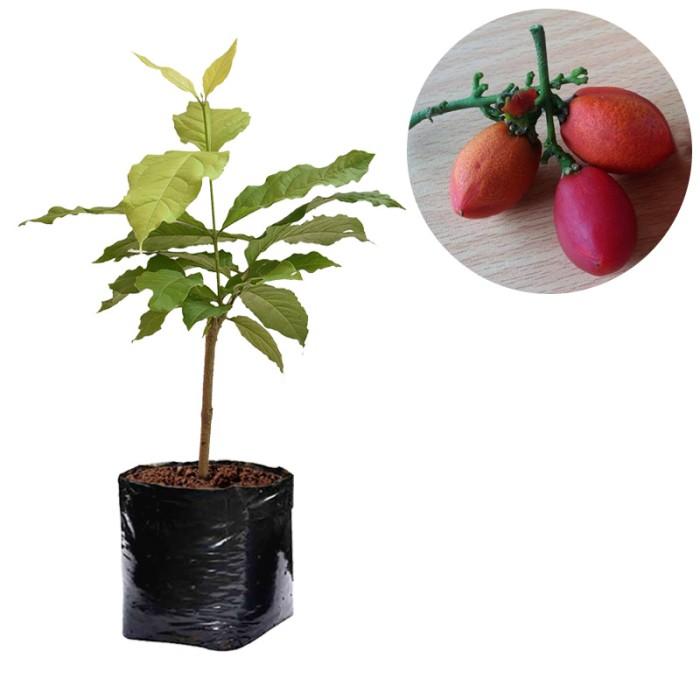 harga Bibit kacang amazon 30-40cm Tokopedia.com