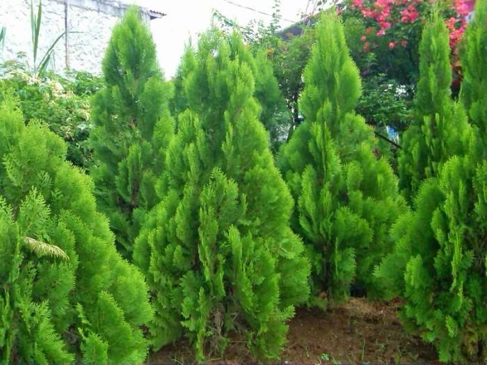 cemara kipas - jenis tanaman hias outdoor