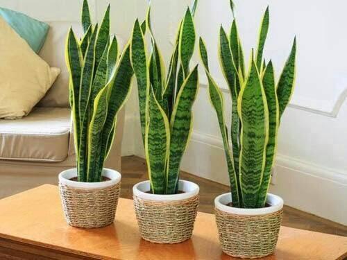 Hasil gambar untuk tanaman Lidah Mertua